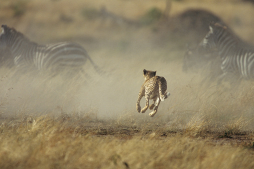 Animals Hunting「Cheetah stampeding with zebras and wildebeests」:スマホ壁紙(5)