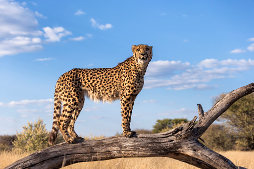 Branch - Plant Part「Cheetah standing on a dead branch using it as a advantage point.Namibia」:スマホ壁紙(19)