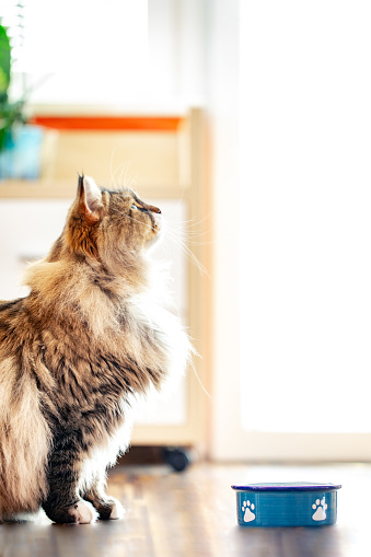 Animal Whisker「Siberian Cat Waiting at His Plate for Food」:スマホ壁紙(16)