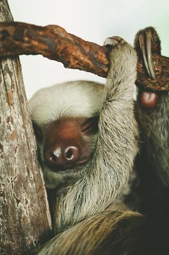 Three-toed Sloth「baby sloth is sleeping」:スマホ壁紙(10)