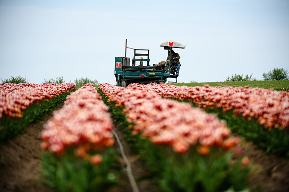 Machinery「Tulip Fields Blossom Near Magdeburg」:写真・画像(9)[壁紙.com]