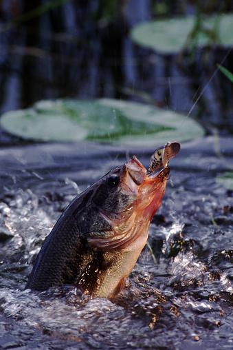 Water Lily「Catching a Largemouth Bass」:スマホ壁紙(19)