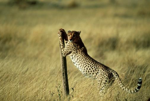 Scratching Post「Cheetah with post」:スマホ壁紙(17)