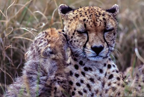 African Cheetah「Cheetah with young in Masai Mara」:スマホ壁紙(2)