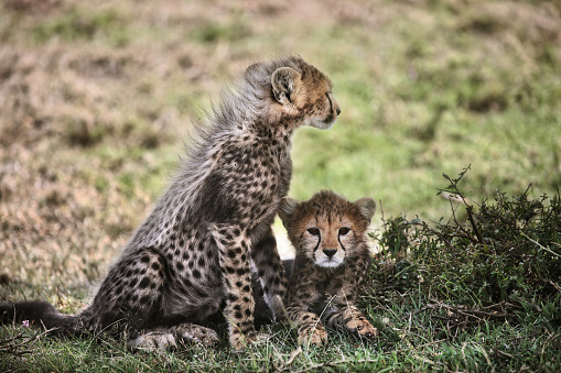 Teenager「Cheetah with Cub in Africa」:スマホ壁紙(16)