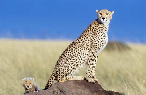 African Cheetah「Cheetah (Acinonyx jubatus) with cub on plain, sitting on rock」:スマホ壁紙(13)