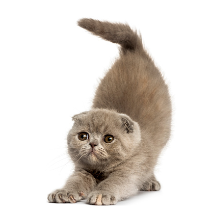 Kitten「Foldex kitten stretching isolated on white」:スマホ壁紙(0)