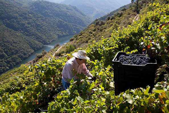 Harvesting「The Grape Harvest Is Gathered In On The Slopes Surrounding The Sil River」:写真・画像(19)[壁紙.com]
