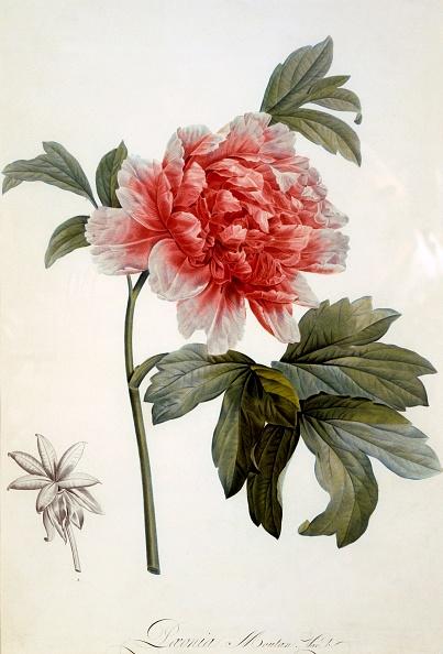 ボタン「Paeonia Moutan」:写真・画像(10)[壁紙.com]