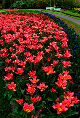 Keukenhof Gardens「Orange Tulips announce spring」:スマホ壁紙(7)