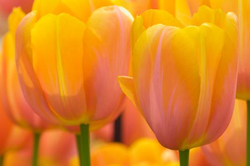 Keukenhof Gardens「Orange Tulips flowers」:スマホ壁紙(4)