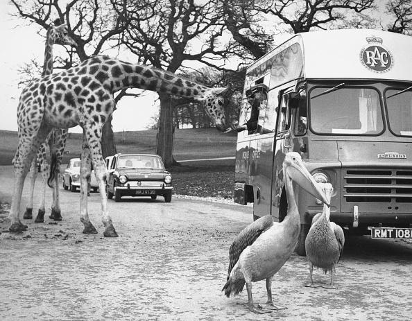 Giraffe「Longleat Giraffes」:写真・画像(12)[壁紙.com]