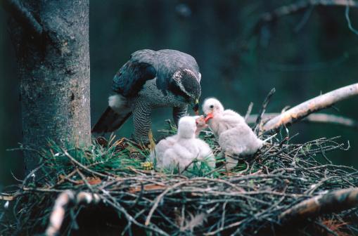 Animal Family「Adult goshawk feeding its chicks. Accipiter gentilis. Wyoming, North America.」:スマホ壁紙(0)