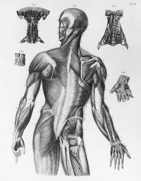 Adult「Human Musculature」:写真・画像(15)[壁紙.com]