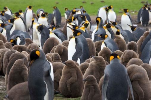 Falkland Islands「Colony of king penguins」:スマホ壁紙(8)