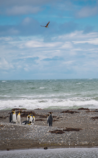 Wave「Colony of king penguins (Aptenodytes patagonicus) at Parque Pingino Rey on Tierra del Fuego」:スマホ壁紙(2)