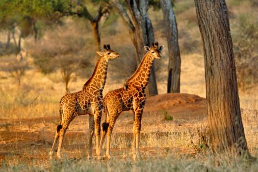 Giraffe「Pair of juvenile Giraffes at sunset」:スマホ壁紙(10)