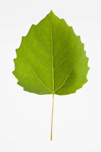 Deciduous tree「USA, New Jersey, Bigtooth Aspen Leaf」:スマホ壁紙(12)