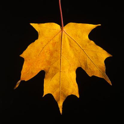 太陽の光「USA, New Jersey, Jersey City, Close-up view of autumn Maple leaf」:スマホ壁紙(7)