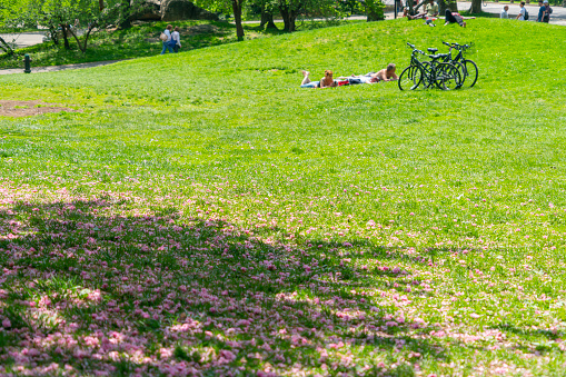 ソメイヨシノ「Many fluttering and fallen Cherry petals cover the lawn, which are illuminated by light and shadow at Central Park New York USA on May 09 2018.」:スマホ壁紙(16)