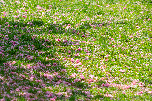 ソメイヨシノ「Many fluttering and fallen Cherry petals cover the lawn, which are illuminated by light and shadow at Central Park New York USA on May 09 2018.」:スマホ壁紙(19)