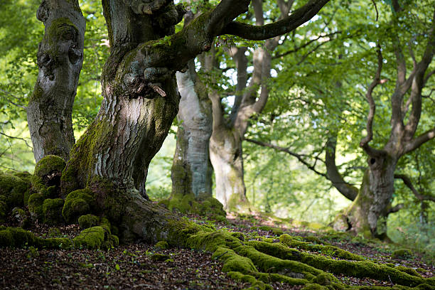 old beech forest in spring:スマホ壁紙(壁紙.com)