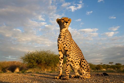 Animals Hunting「Cheetah at Sunset」:スマホ壁紙(0)