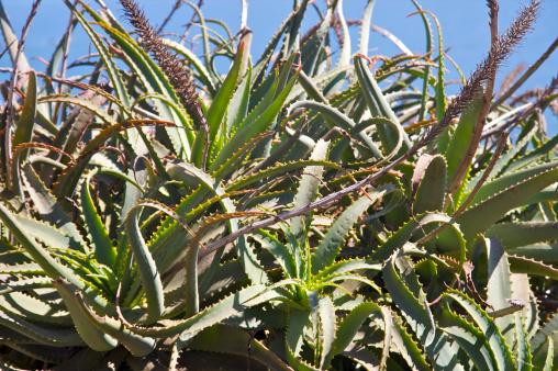 Ragged Point「Wildly-spread cacti against blue sky」:スマホ壁紙(4)