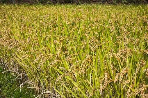 Japan「Rice ready for harvest」:スマホ壁紙(0)