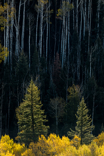 Uncompahgre National Forest「Backlit evergreen trees」:スマホ壁紙(14)