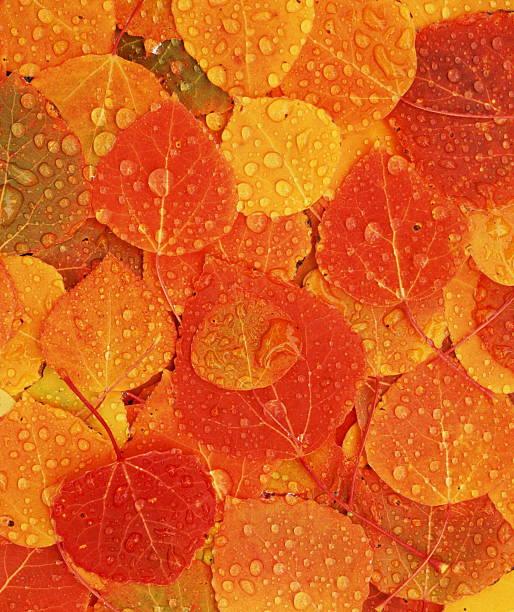 Autumnal aspen leaves, full frame:スマホ壁紙(壁紙.com)