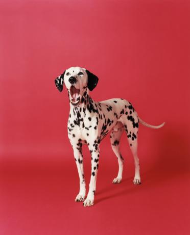 Dalmatian Dog「Dalmatian yawning, portrait」:スマホ壁紙(14)