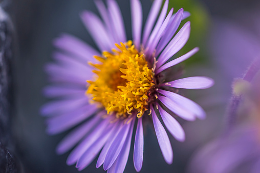 Arctic National Wildlife Refuge「Siberian Aster along the Marsh Fork of the Canning River in the Arctic National Wildlife Refuge, Summer, Alaska 」:スマホ壁紙(11)