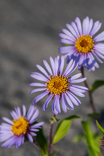 Arctic National Wildlife Refuge「Siberian Aster along the Marsh Fork of the Canning River in the Arctic National Wildlife Refuge, Summer, Alaska 」:スマホ壁紙(12)