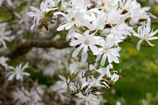 Magnolia「Star Magnolia (M. stellata)」:スマホ壁紙(11)