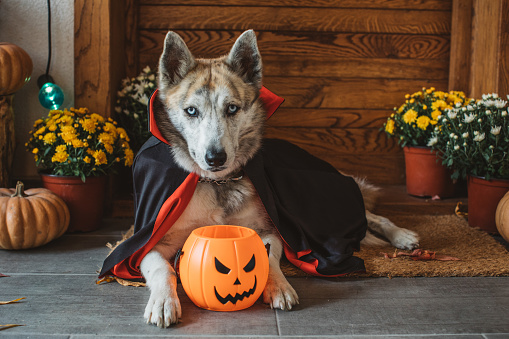 Cape - Garment「Halloween vampire dog」:スマホ壁紙(1)
