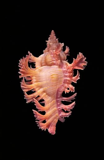 snails「Chicoreus nobilis」:スマホ壁紙(8)