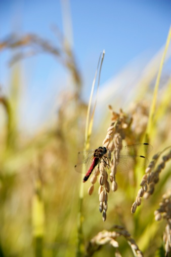 Dragonfly「Dragonfly resting on rice crop」:スマホ壁紙(11)
