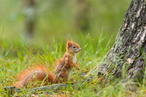 Squirrel「European red Squirrel, Sciurus vulgaris」:スマホ壁紙(9)