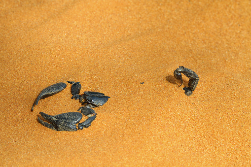 Animals Hunting「Scorpion buried in the sand, Indonesia」:スマホ壁紙(16)