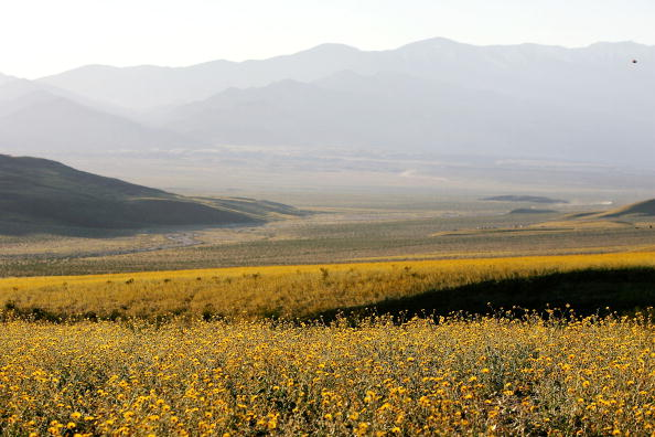 flower「Record Rains Bring Rare Wildflowers To Death Valley」:写真・画像(0)[壁紙.com]