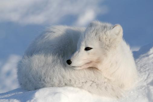 Snowdrift「Lying fox.」:スマホ壁紙(13)