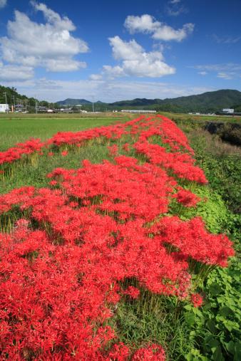 秋+京都「Red Spider Lily, Kameoka, Kyoto, Japan」:スマホ壁紙(17)