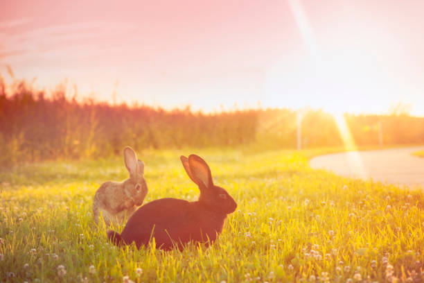Cute rabbit with big ears outdoors in sunset:スマホ壁紙(壁紙.com)