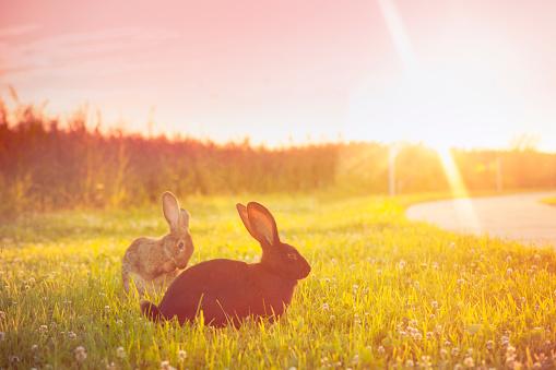 Rabbit「Cute rabbit with big ears outdoors in sunset」:スマホ壁紙(13)
