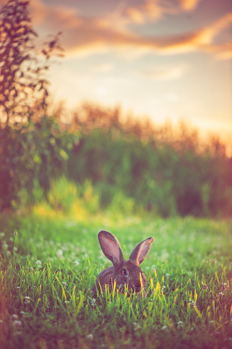 Baby Rabbit「Cute rabbit with big ears outdoors in sunset」:スマホ壁紙(6)