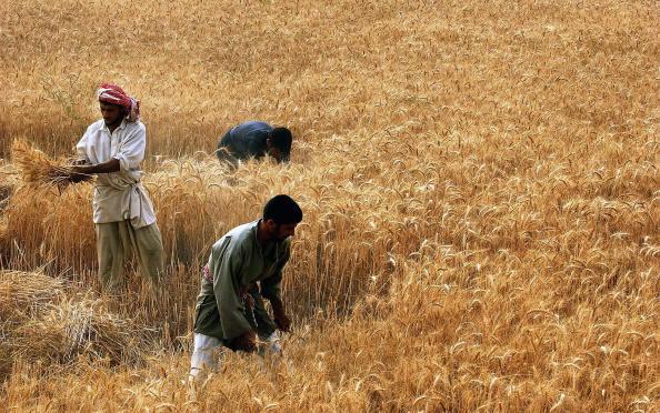 Baghdad「Iraqi Farmers Harvest Barley」:写真・画像(2)[壁紙.com]