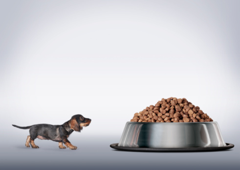 Pet Food「Dachshund looking up at large bowl of food」:スマホ壁紙(13)