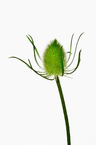 Wildflower「Teasel (Dipsacus fullonum), July」:スマホ壁紙(6)