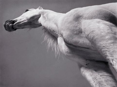 Horse「White Arabian horse, low angle view (toned B&W)」:スマホ壁紙(1)